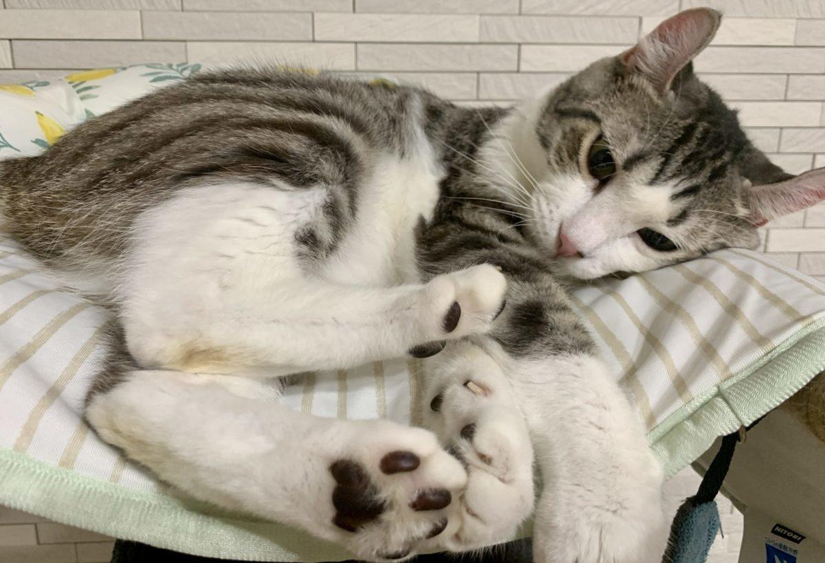 寝起きに甘えてくる猫がかわいい〜寝起きのしんばさんは甘え上手です〜