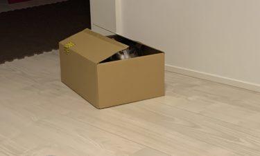 ダンボールが好きな猫 ダンボールを見つけるとすぐに入って遊ぶしんばさん
