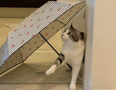 猫と傘 かわいいポーズのしんばさん♪ Singing In The Rain
